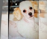 Small Photo #1 Miniature Bernedoodle Puppy For Sale in FREDERICKSBG, OH, USA