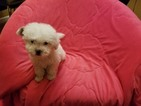 Shih-Poo Puppy For Sale in LOS ANGELES, CA, USA