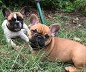 French Bulldog Puppy For Sale in EUSTACE, TX, USA
