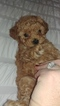 Poodle (Toy) Puppy For Sale in LA HABRA, CA, USA