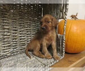 Irish Setter Puppy for sale in LEBANON, PA, USA