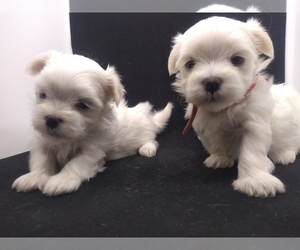 Maltese Puppy for Sale in NASHVILLE, North Carolina USA