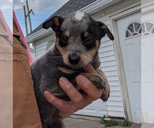 Australian Cattle Dog Puppy for sale in BANGOR, PA, USA