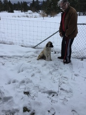 Anatolian Shepherd Puppy For Sale in COEUR D ALENE, ID