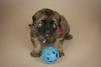 Leonberger Puppy For Sale in REDMOND, WA, USA