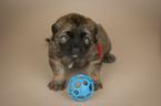 Leonberger Puppy For Sale in REDMOND, WA, USA