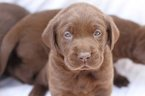 Labrador Retriever Puppy For Sale in PIEDMONT, South Carolina,