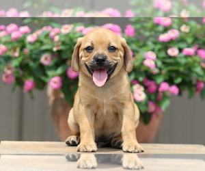 Puggle Dog for Adoption in DILLWYN, Virginia USA