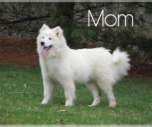 Mother of the Samoyed puppies born on 10/12/2020