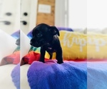 Small Photo #6 Chorkie Puppy For Sale in COOKEVILLE, TN, USA