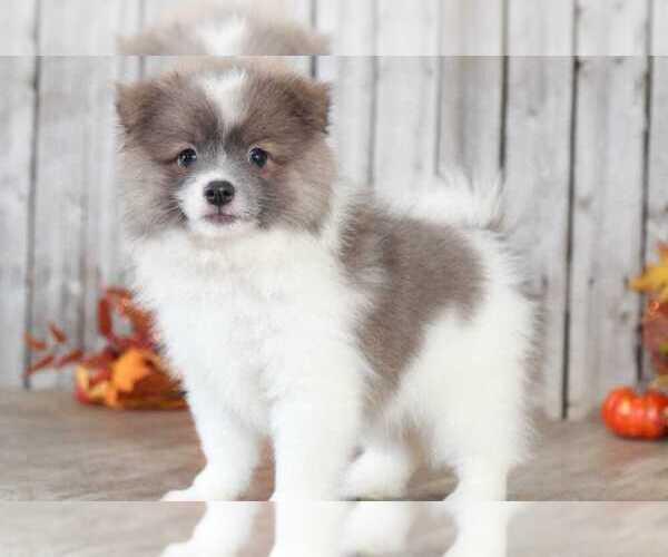 Medium Photo #2 Pomeranian Puppy For Sale in MOUNT VERNON, OH, USA