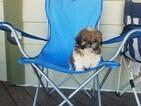Shih Tzu Puppy For Sale in SANTA CLARITA, CA, USA