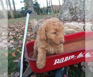 Goldendoodle-Poodle (Miniature) Mix Puppy for Sale in MILLERSBURG, Pennsylvania USA