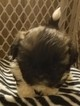 Adorable 8 Week Old Shih Tzu Puppies
