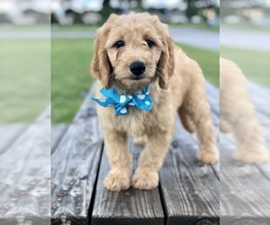 View Ad: Goldendoodle Puppy for Sale near Florida, KISSIMMEE