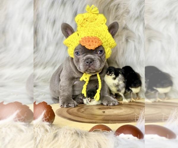 Medium Photo #1 French Bulldog Puppy For Sale in OJAI, CA, USA