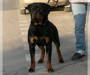 Father of the Rottweiler puppies born on 09/22/2020