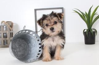 Yo-Chon Puppy for sale in NAPLES, FL, USA