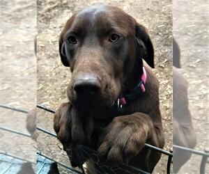 Mother of the Labrador Retriever puppies born on 12/15/2020