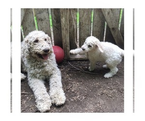 Goldendoodle-Poodle (Standard) Mix Dog for Adoption in ALFORD, Massachusetts USA