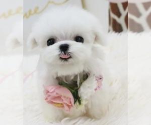 Maltese Puppy for sale in HILO, HI, USA