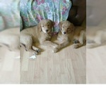GOLDEN RETRIEVER PUPPIES AVAILABLE ON APRIL 17