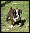 Boxer Puppy For Sale in FAXON, OK, USA