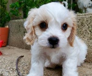 Cavachon Puppy for Sale in DOON, Iowa USA