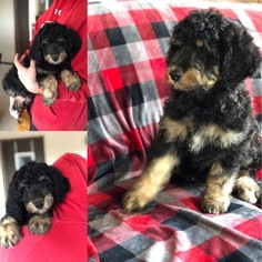 Bernedoodle Puppy For Sale in LORETTA, WI, USA