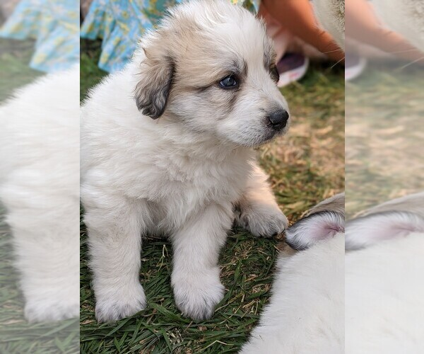 Medium Photo #113 Great Pyrenees Puppy For Sale in FALCON, CO, USA