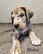 Great Dane Puppy For Sale in DUNCANSVILLE, Pennsylvania,