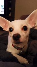 Mickey *Courtesy Post - Chihuahua Dog For Adoption