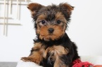 Princess Female Yorkie