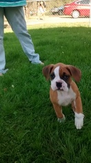 Boxer Puppy For Sale in SIBLEY, LA, USA