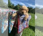 Puppy 2 Goldendoodle-Labrador Retriever Mix