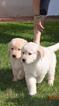 Pure Bred Retriever Puppies