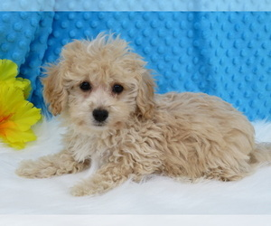 Havanese-Poodle (Toy) Mix Puppy for Sale in SHILOH, Ohio USA