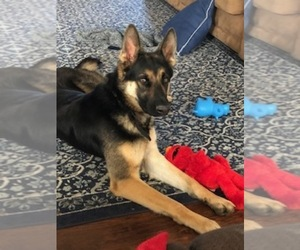 German Shepherd Dog Puppy for Sale in MBORO, Tennessee USA