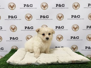 Shiranian Puppy For Sale in TEMPLE CITY, CA
