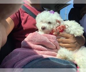 Bichon Frise Puppy for sale in HILLSBORO, OR, USA