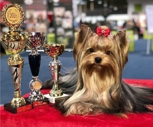 Father of the Yorkshire Terrier puppies born on 05/08/2019