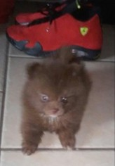 American Indian Dog Puppy For Sale in SAN BERNARDINO, CA