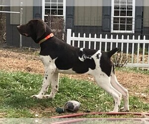 German Shorthaired Pointer Puppy for sale in BLMGTN, IN, USA