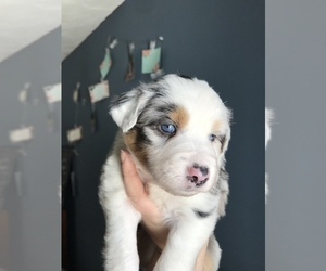 Miniature American Shepherd Puppy for Sale in NEHAWKA, Nebraska USA