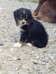 Australian Shepherd Puppy For Sale in CAMDEN, OH, USA
