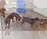 Small #91 Rottweiler