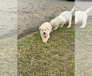 Labrador Retriever Puppy for sale in CHULA VISTA, CA, USA