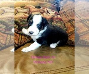 Australian Shepherd Puppy for sale in RICHLAND, MO, USA