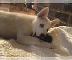 Puppy 1 Pomsky-Siberian Husky Mix