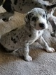 Great Dane Puppy For Sale in CAPE CORAL, FL,